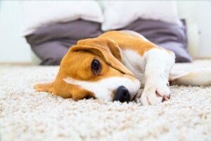 beagle op mat