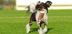 chines naakthond op gazon