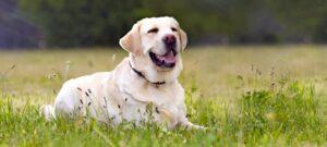 vlooienband voor hond
