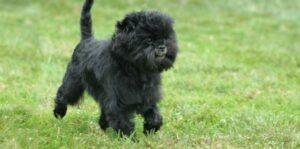 Affenpinscher hondje