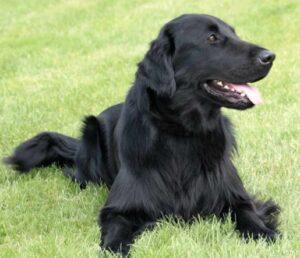 golden retriever zwart