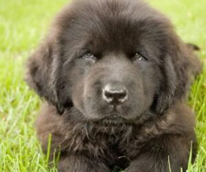 newfoundlander pup