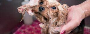 shampoo voor bruine honden