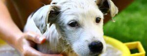 shampoo voor witte honden