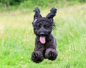 springende zwarte Labradoodle