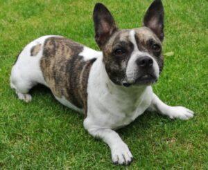 Bullhuahua - Chihuahua en een Franse Bulldog