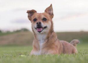 Chihuahua kruisingen