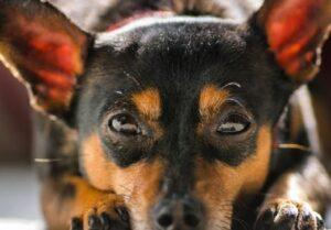 Chipin - kruising Chihuahua Pincher