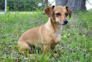 Chiweenie - kruising Chihuahua Teckel