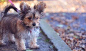 Chorkie - kruising Chihuahua Yorkshire