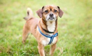 Chug - kruising Chihuahua Mopshond