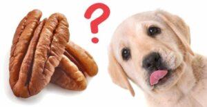 Mogen honden Pecannoten eten