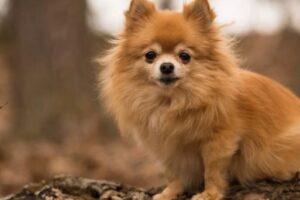 Pomchi - kruising Chihuahua Pomeriaan