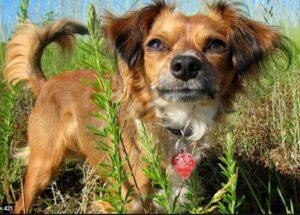 chion kruising Chihuahua en een Vlinderhondje