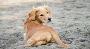 kleine golden retriever