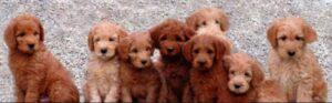 labradoodle mini puppies