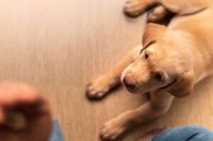 Hond die omhoog naar eigenaar kijkt die traktatie zoekt