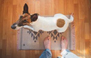 Hond kijkt omhoog naar eigenaar op tapijt