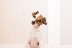 Hond zit rechtop in badkuip en kijkt naar eigenaar