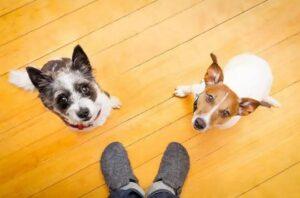 Twee honden kijken thuis op naar baasje