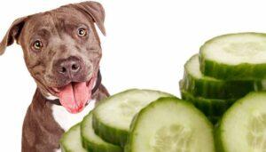 mogen honden komkommer eten