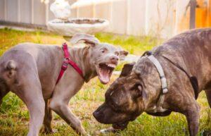 hond agressief tegen andere honden afleren