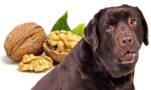 Mogen honden walnoten eten