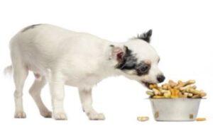 chihuahua hondenvoer