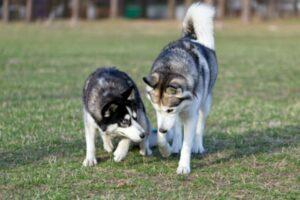 hond loopt ineens mank voorpoot