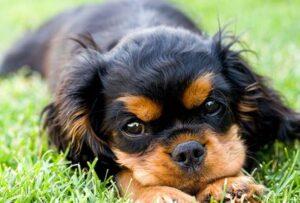 ziekte van lyme hond