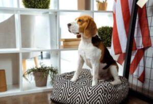 Amerikaanse Beagle