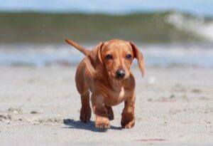 Beagle Teckel kruising