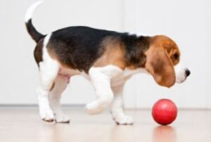 beagle asiel