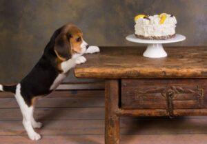 beagle eten