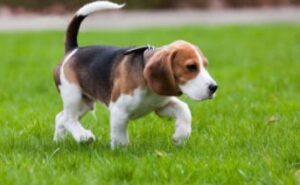 beagle herplaatsing