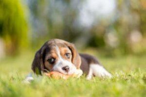 beagle opvoeden