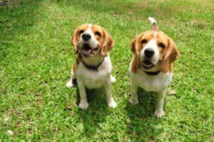 beagle pup prijs