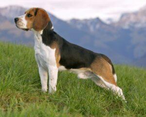 beagle volwassen