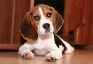 gewicht beagle