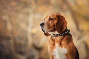 hoe oud wordt een beagle
