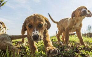 kruising labrador beagle