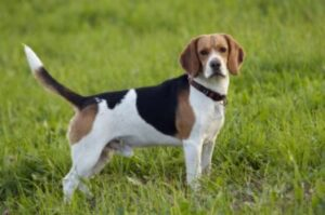 schofthoogte beagle