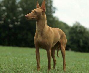 hond van de farao