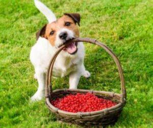 Mogen honden aalbessen eten
