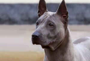 Thai Ridgebackdog