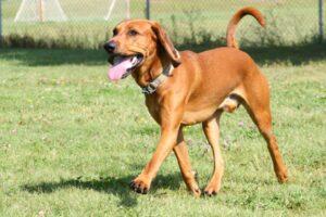 Amerikaanse Engelse Coonhound