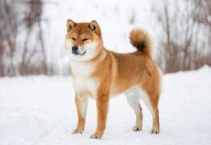 japanse hondenrassen